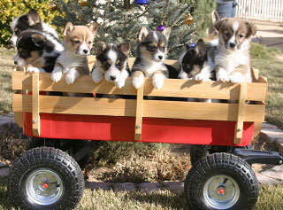 Puppies in a wagon.