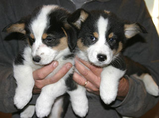 2 tri-colored males at 8 weeks old.